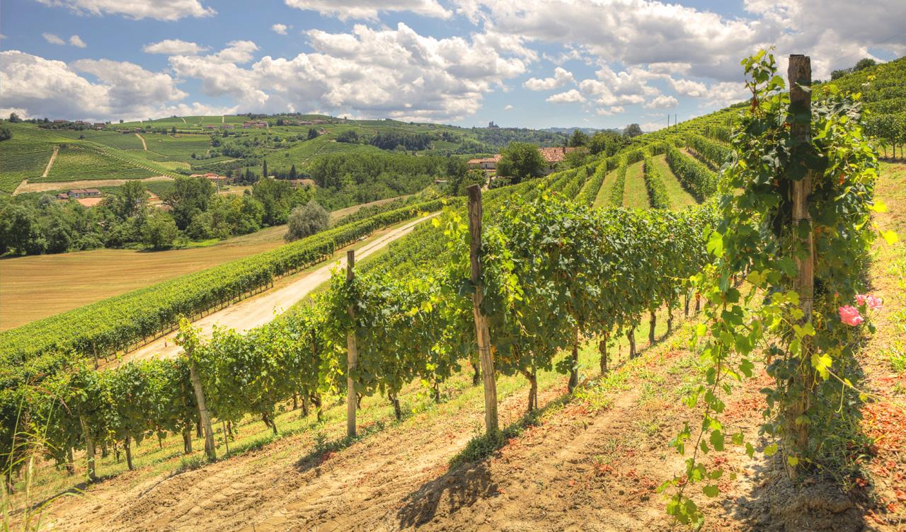 Italien vingård